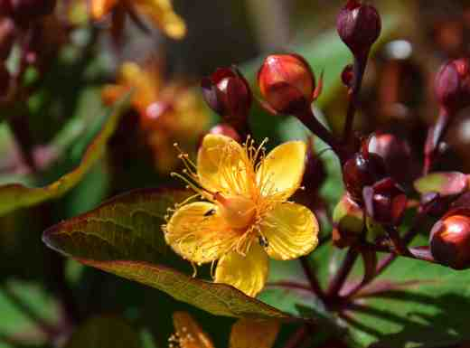 hypericum red july3