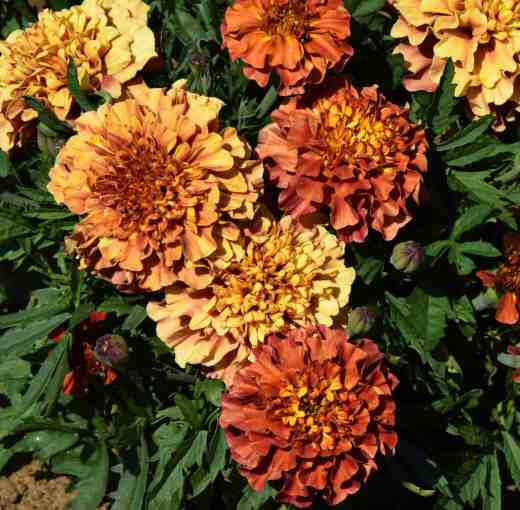 marigold Strawberry Bkonde2