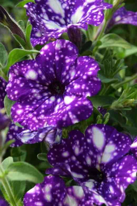 petunia nightsky 2