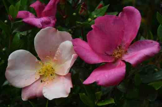 rosa mutabilis july162