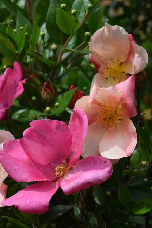 rosa mutabilis july163