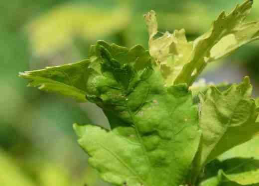 tortrix moth3