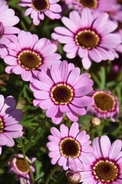 argyanthemum Grandaisy Pink Halo