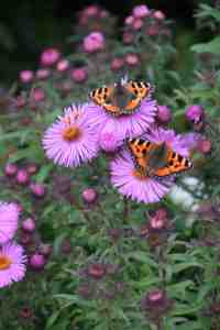 aster - yes I know they are now symphyotrichum. I cheated!