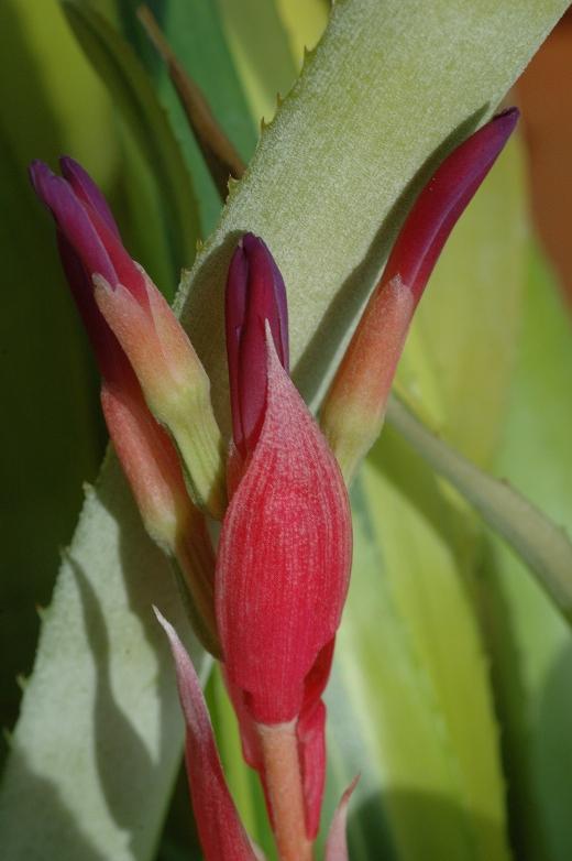 billbergia santa 3-06 6