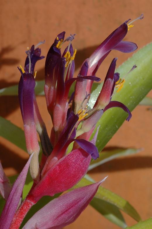 billbergia santa 3-06