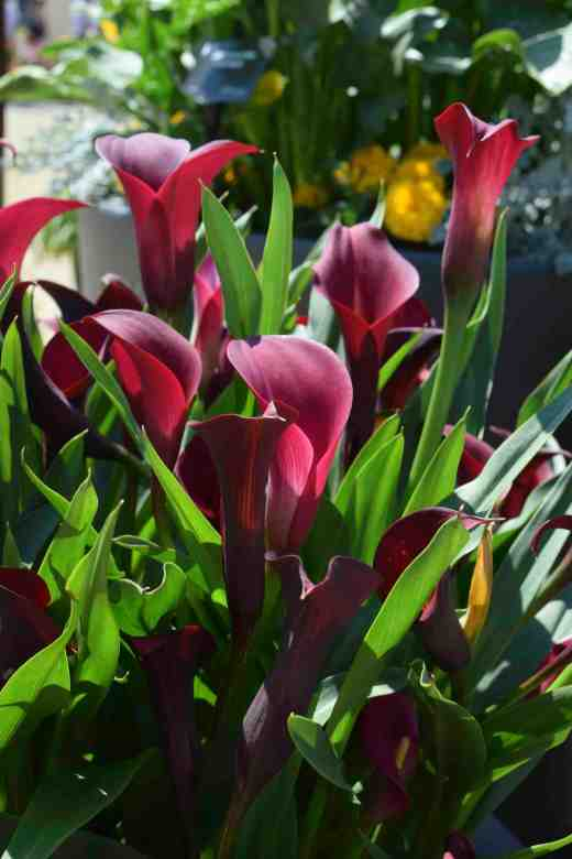 calla california red