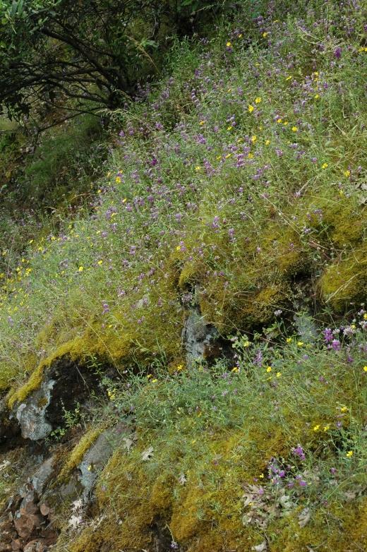 collinsia heterophylla  drytown-placerville 49 calif3