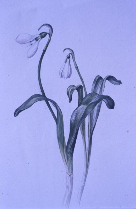 eab galanthus plicatus painting