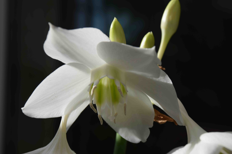 Eucharis The Amazon Lily The Biking Gardener