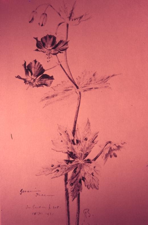 myddelton geranium phaeum 1921