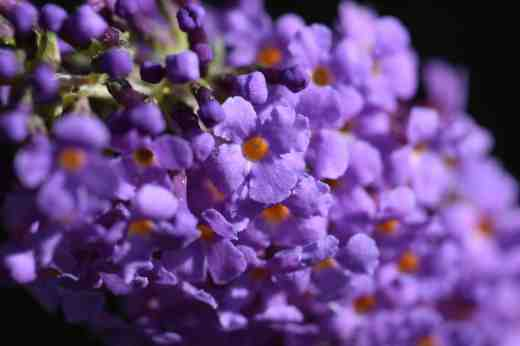 buddleia-blue-chip