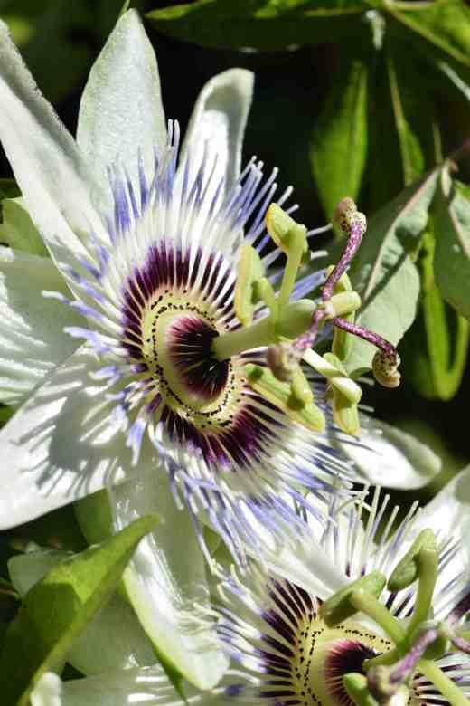 passiflora-white-li2