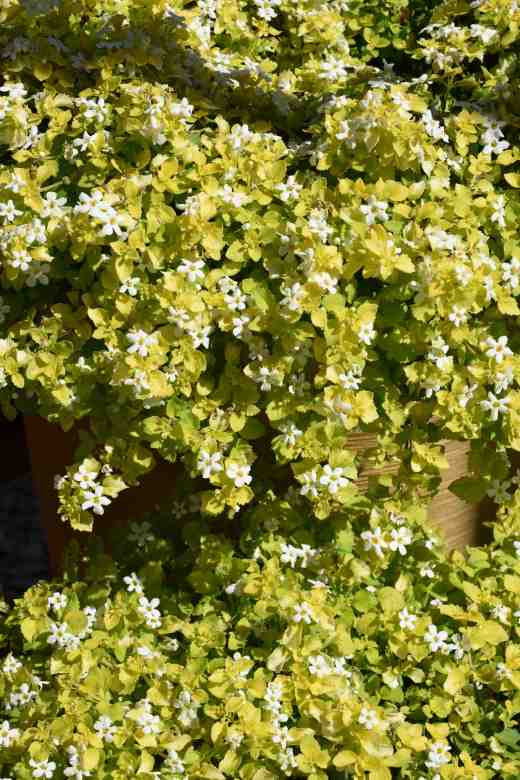 The distinctive and useful 'Golden Leaves White'