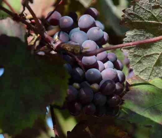vitis-vinifera-purp2
