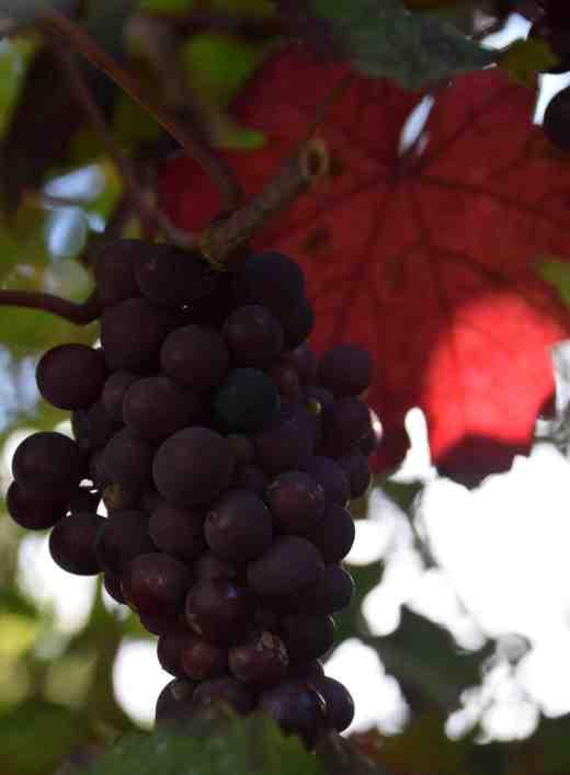 vitis-vinifera-purp4