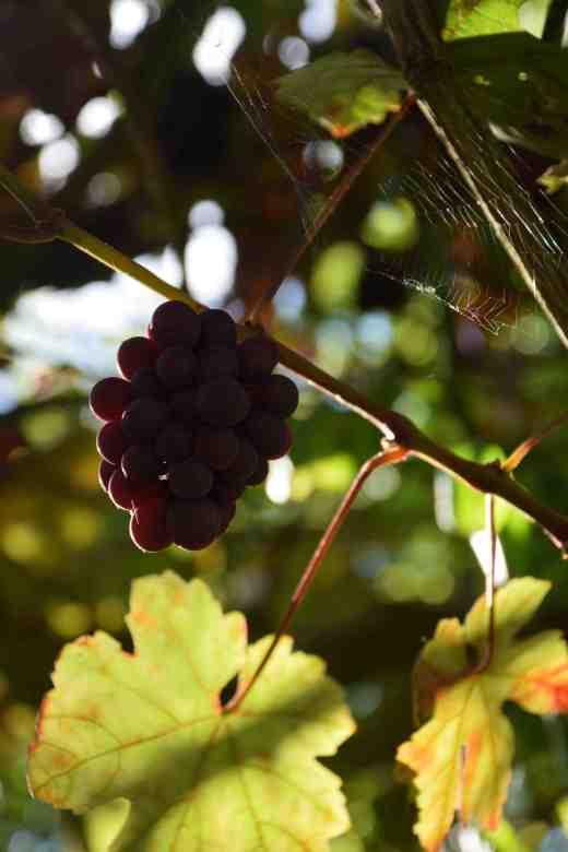 vitis-vinifera-purp6