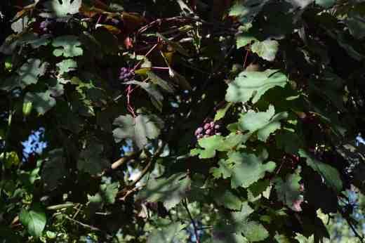vitis-vinifera-purp9
