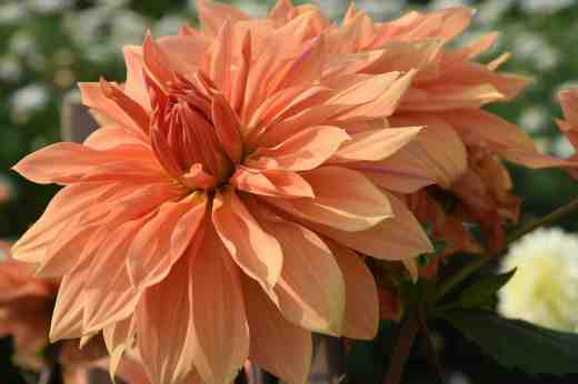'Babylon Bronze' is a modern, commercial variety with large (22cm) flowers on large plants up to 1.2m high. Nice colour