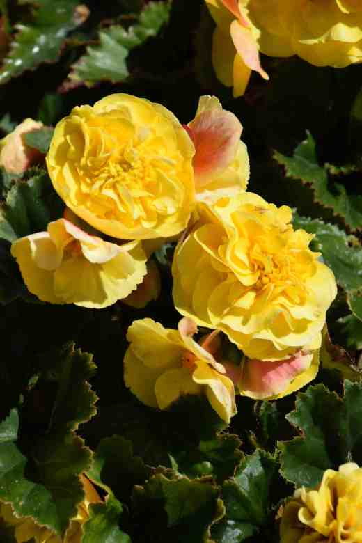 begonia-f1-fortune-yellow-copy