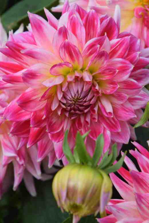 'Cha Cha' is a small (less than 20cm) semi-cactus flower in shades of rich pink and grows to about 1.5m