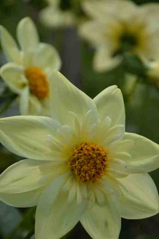 'Clair de Lune'. Love 'em or loathe 'em, collerette dahlias are distinctive and showy. Most have contrasting inner petals but in this one they are more subtle. Large and tall growing at 1.5m