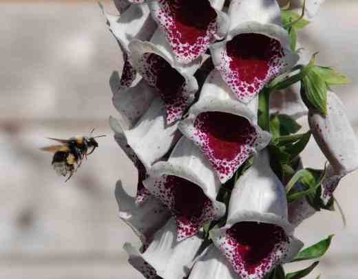 digitalis-pams-choice-flowers3-copy-2