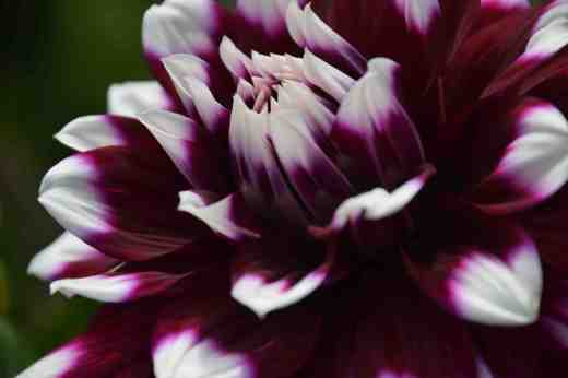 'Edinburgh' Being a fanatic of everything unusual I should love this but, along with others in the same colour pattern but different shades, it is a bit annoying! But it is showy. 'Edinburgh' is a small Decorative, with flowers less than 15cm across