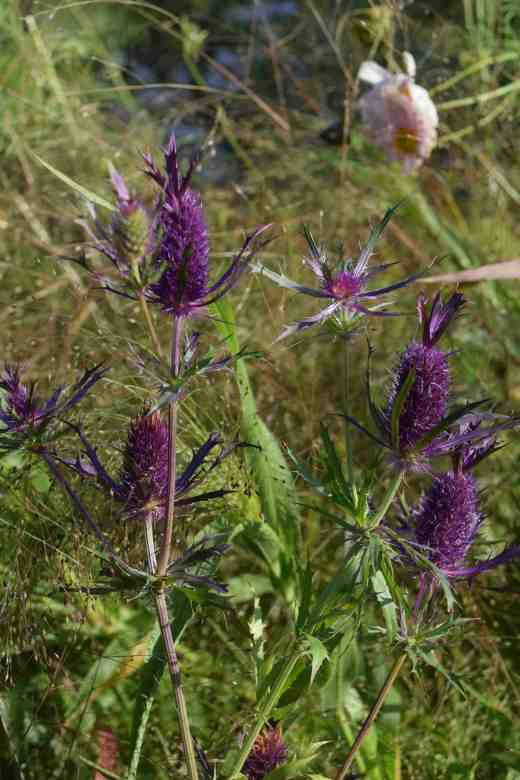 eryngium-leavenworthii-oct6-blog