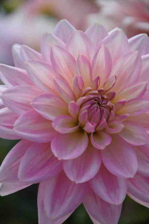 'Gerrie Hoek' Another Waterlily, this is an ancient variety but none the worse for that - it is great to grow for cutting
