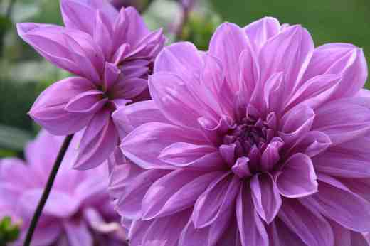 'Lilac Time' The flowers of this Decorative are 15-20cm across and as close to blue as you can get. Despite some curious names there are no blue dahlias.
