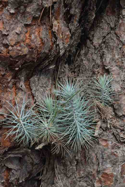 pinus-canariensis-2