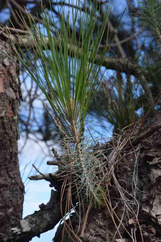 pinus-canariensis