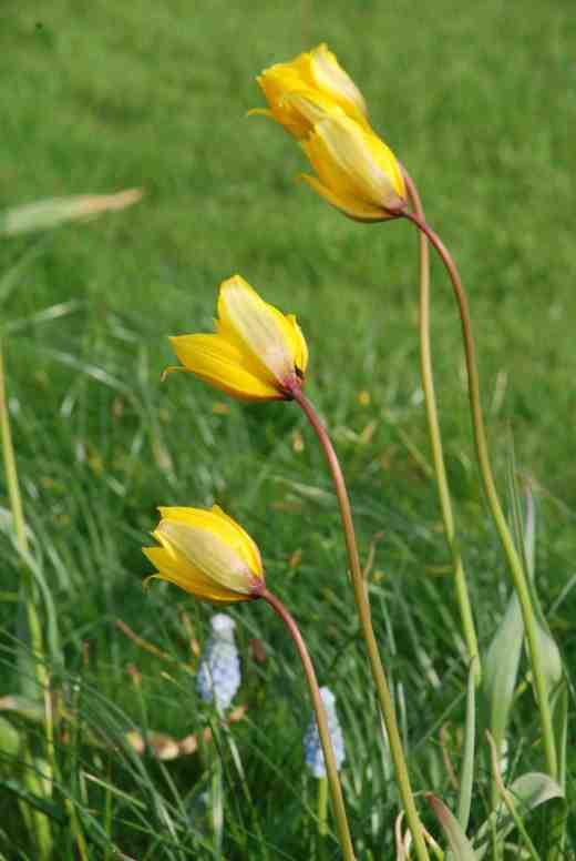 tulipa-sylv