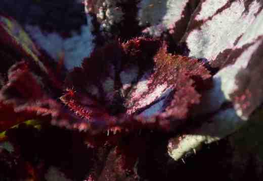 begonia-china-curl2