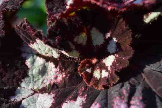 begonia-china-curl3