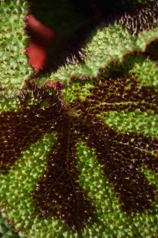 begonia-masoniana2