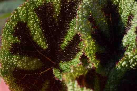 begonia-masoniana8