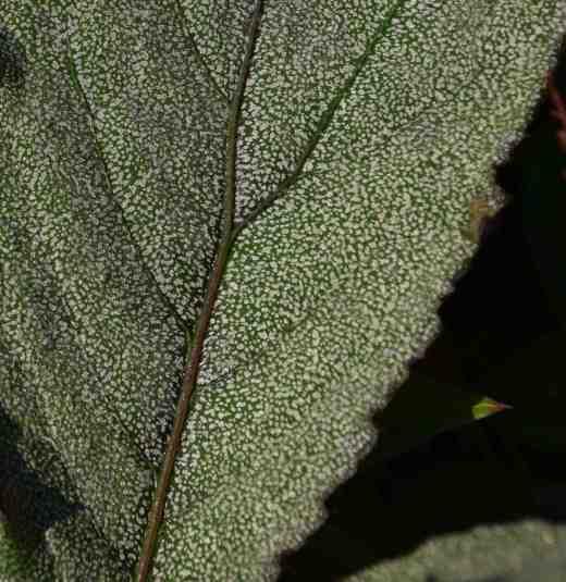begonia-pollux2