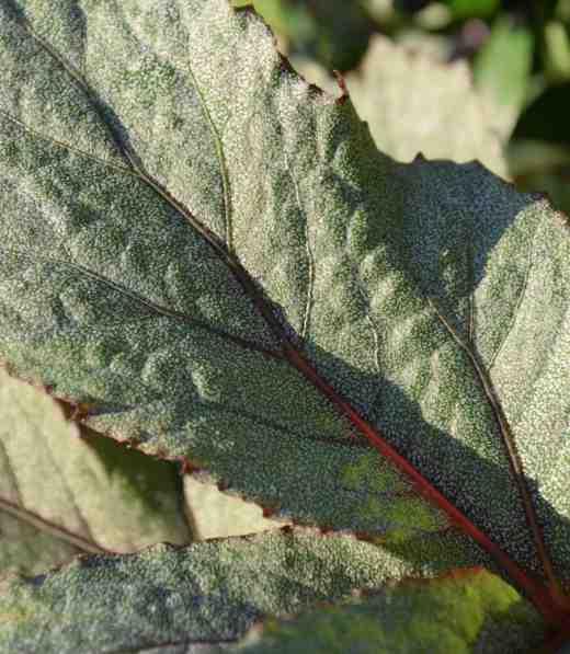 begonia-pollux22
