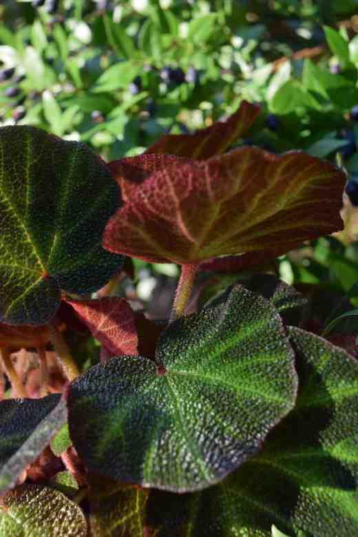 begonia-soli-mutata