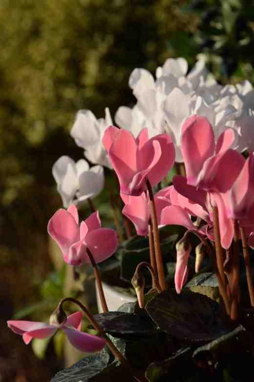 cycpersicum-pink