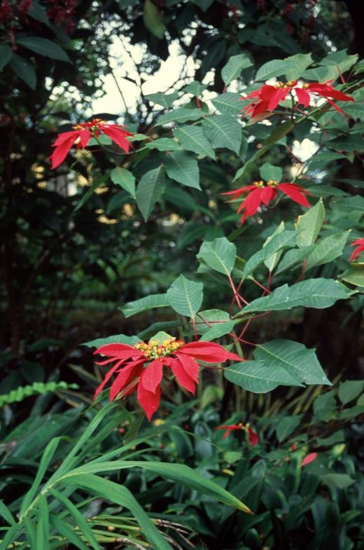 euphorbia-pulcherrima-tenerife