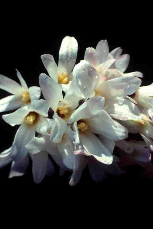 abeliophyllum-water-copy