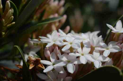 acokanthera-spectabilis-gran-can-jan-3-copy
