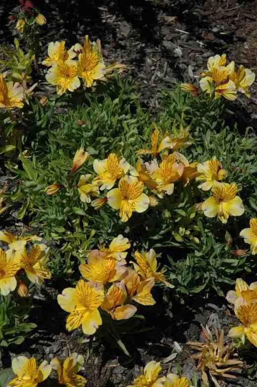 alstroemria-dwarf-oregon-garden-copy