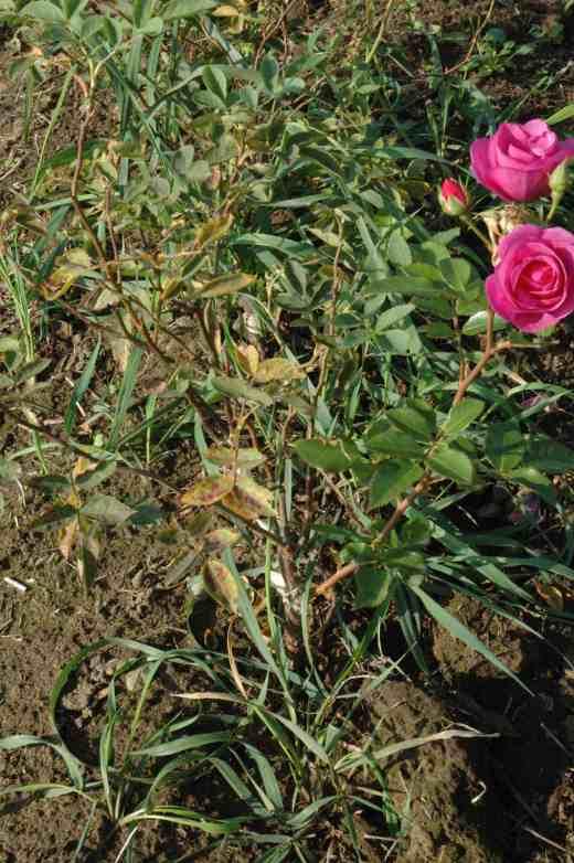 budded-rose-copy