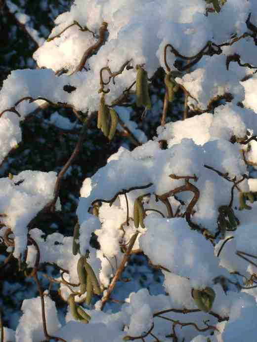 corylus-avellana-tort-in-snow-copy