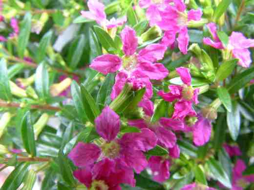 cuphea-hyssopifolia-pink3-copy