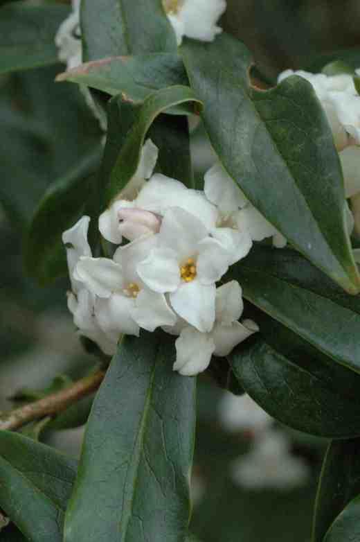 daphne-bholua-alba-3-06-4-copy